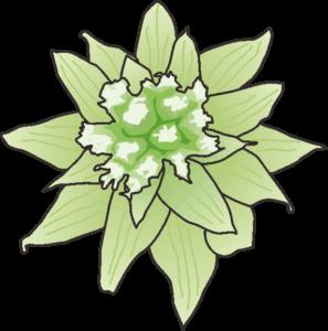 花が開きかけたフキノトウ