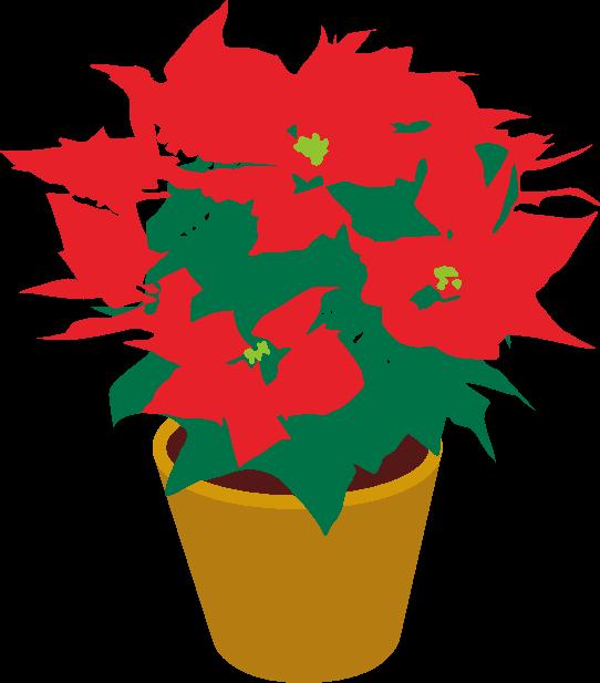 クリスマスフラワーと呼ばれているポインセチアのイラスト